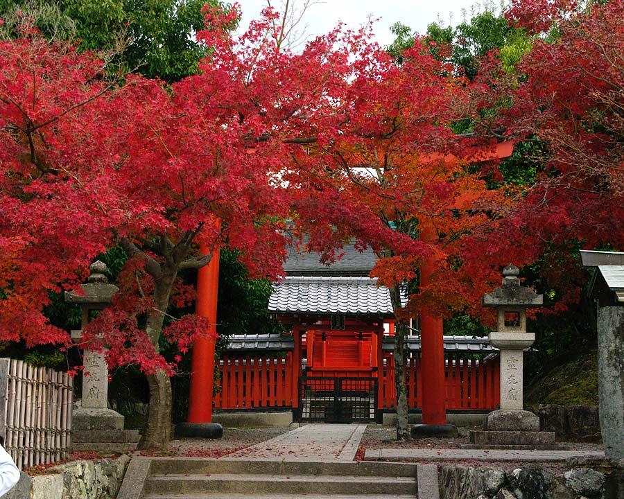 Acer plamatum at Tenryu-Ji Temple, Kyoto, Japan.