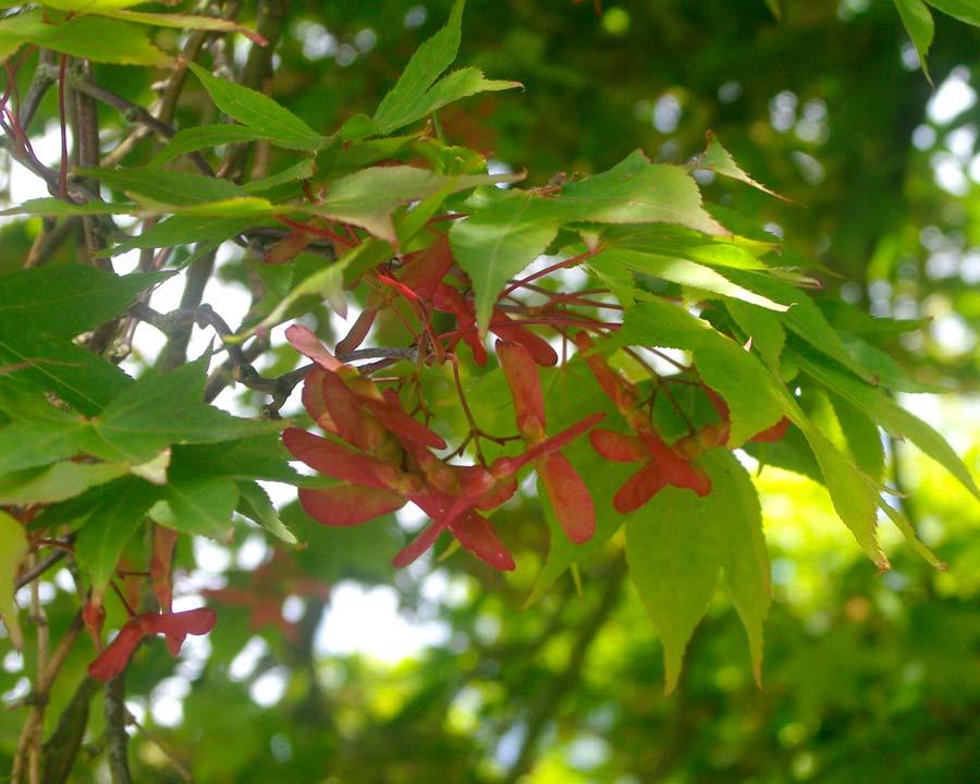 Acer palmatum 'Osakazuki' - red winged seeds contrasting the light green leaves
