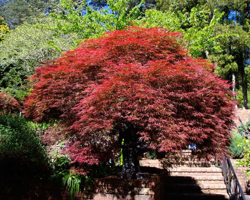 Acer Palmatum Seiryu has brilliant red bronze folliage - Spring, Everglades, Blue Mountains