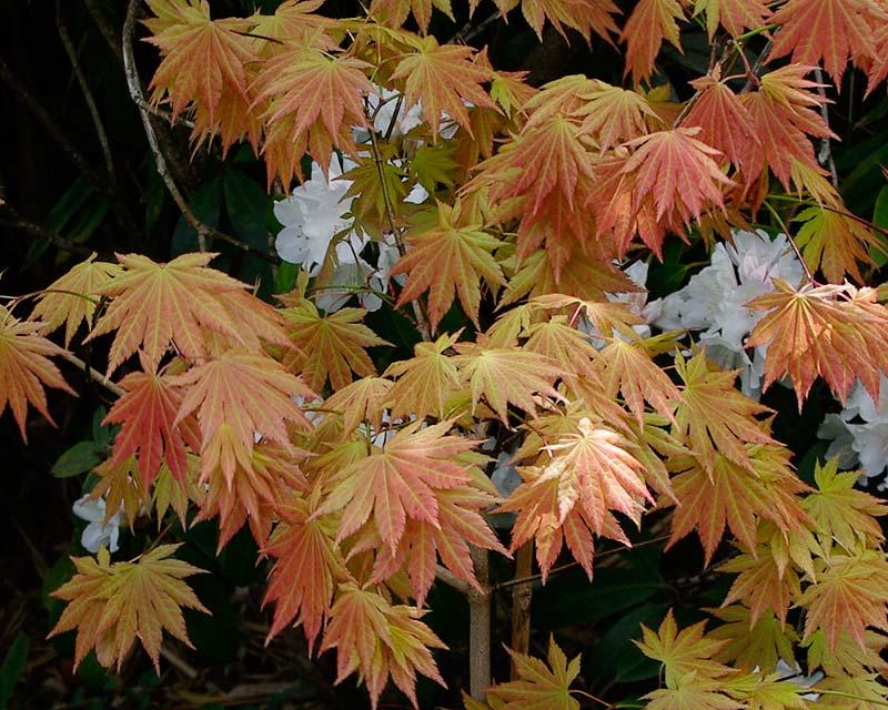 Acer palmatum Autumn Moon