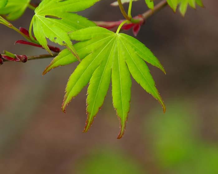 Acer palmatum - when still only a few weeks emerged