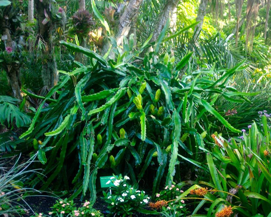 Hylocerus undatus - Dragonfruit plant - large spreading succulent
