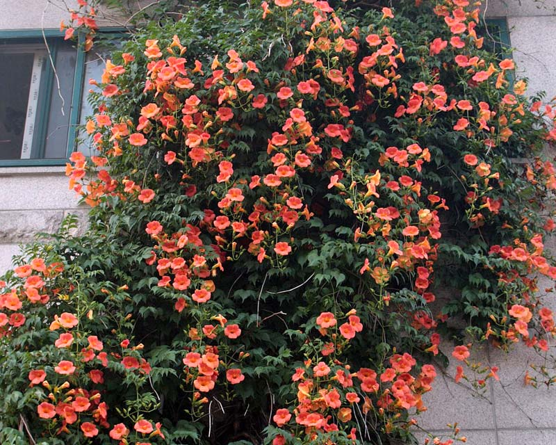Campsis grandiflora - photo Dalgial