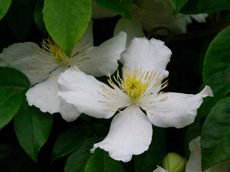 The white flowers of Clematis montana Alba