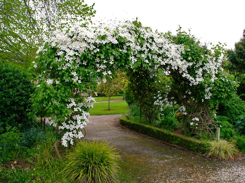 Clematis montana often feature in garden arches