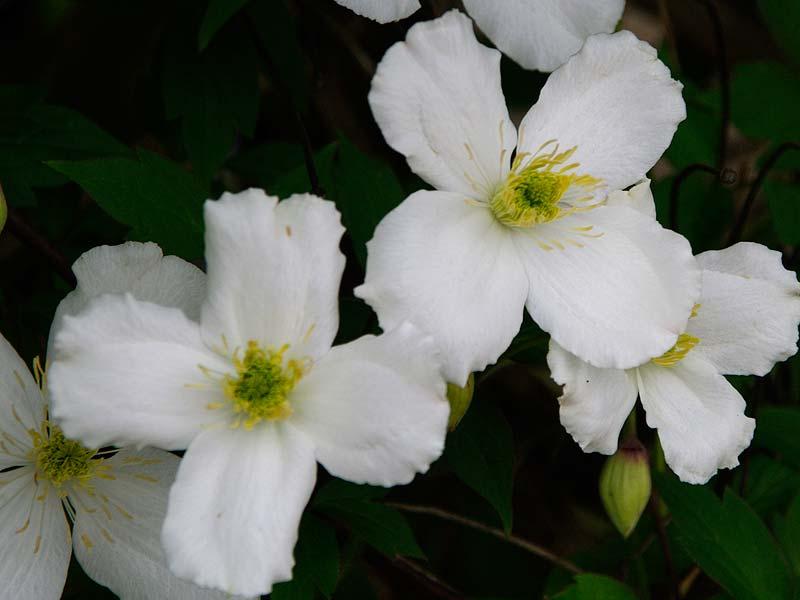 GardensOnline: Clematis montana
