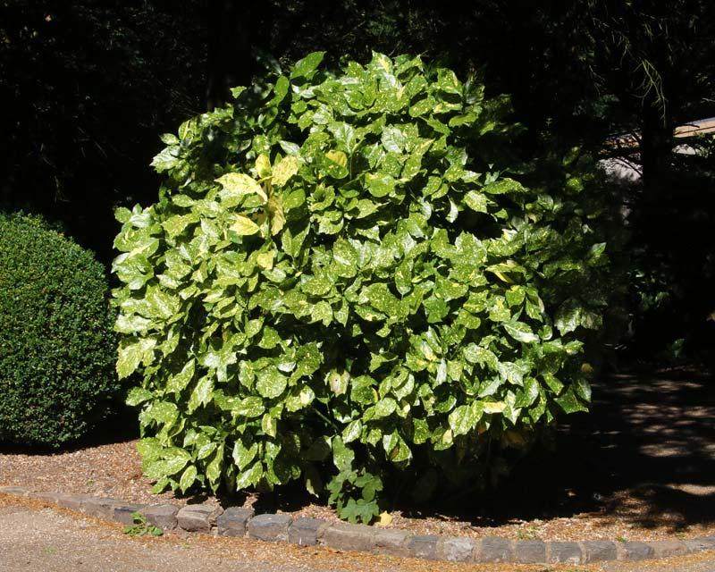 Aucuba japonica Variegata, as seen at Waddesdon Estate, UK
