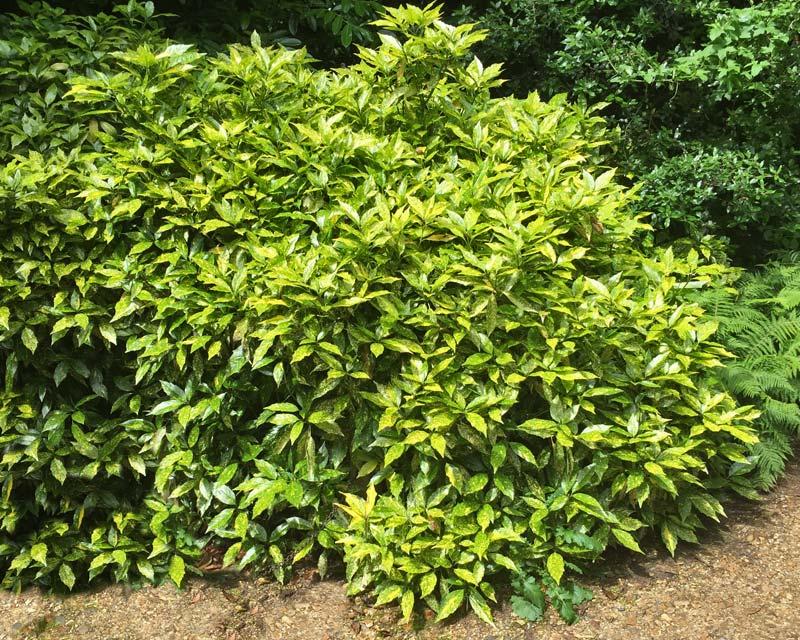 Aucuba japonica -The Gold Dust Laurel