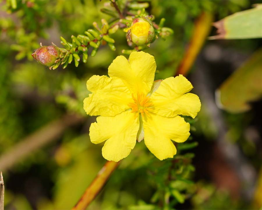 Hibbertia serpyllifolia - Guinea Flower