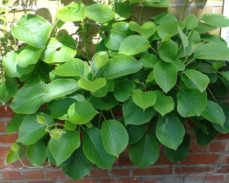 Actinidia deliciosa - Chinese Gooseberry or Kiwi Fruit foliage