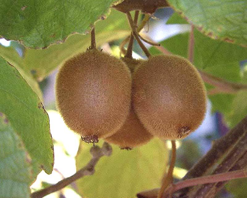 Actinidia deliciosa - chinese gooseberry or kiwifruit