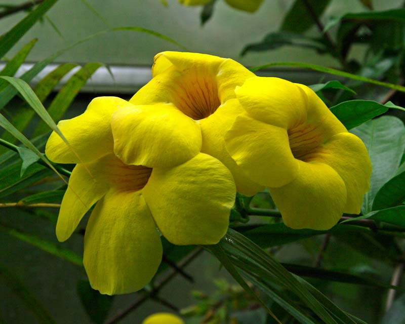 Allamanda cathartica grown in glasshouses in the UK