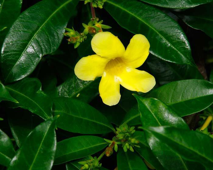 Gardensonline Allamanda Cathartica