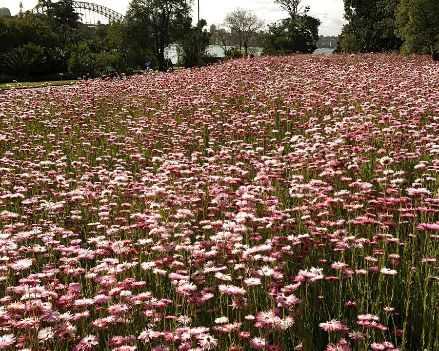 Rhodanthe chlorocephala or the Everlasting Daisy - Sydney Botanic Gardens