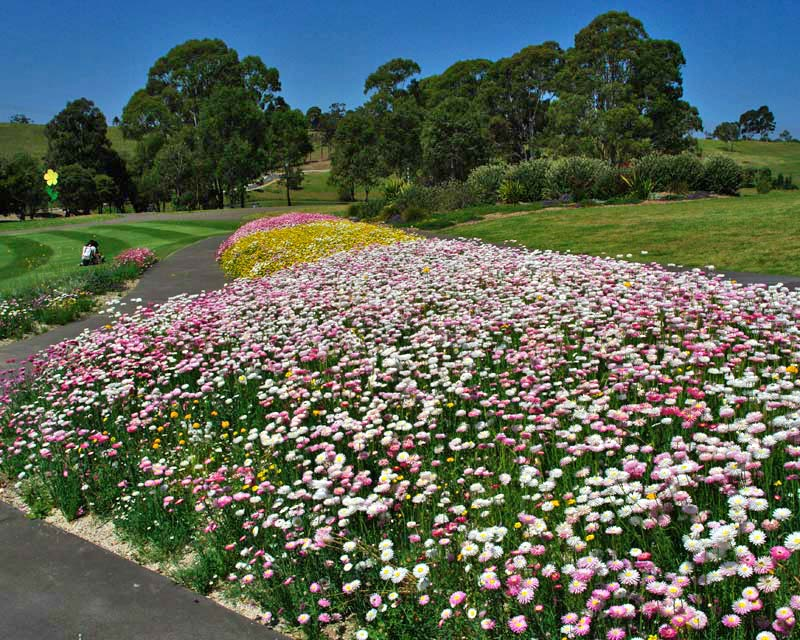 Rhodanthe chlorocephala - Strawflower - planted together in flower border at RBG Mount Annan