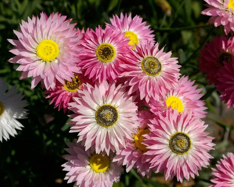 Rhodanthe chlorocephala  subsp Rosea  pink paper daisies