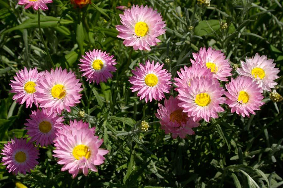 Rhodanthe chlorocephala  subsp Rosea  paper daisies - Strawflowers