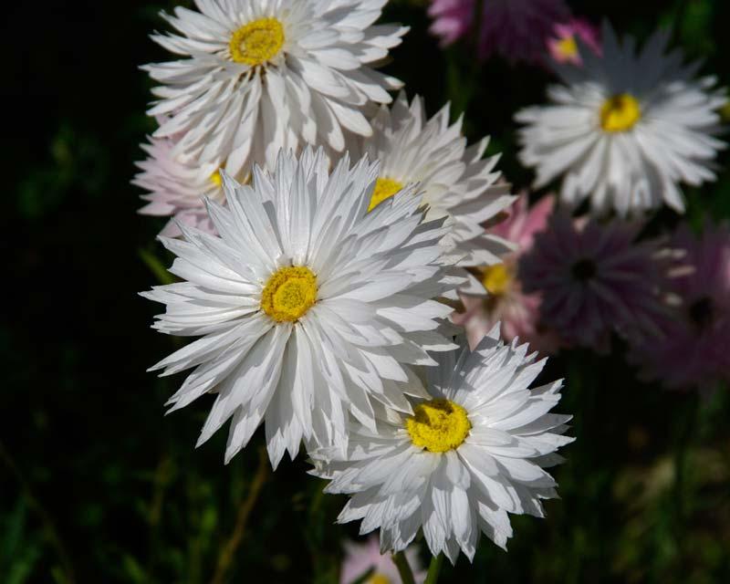 Rhodanthe chlorocephala  subsp Rosea  white strawflowers