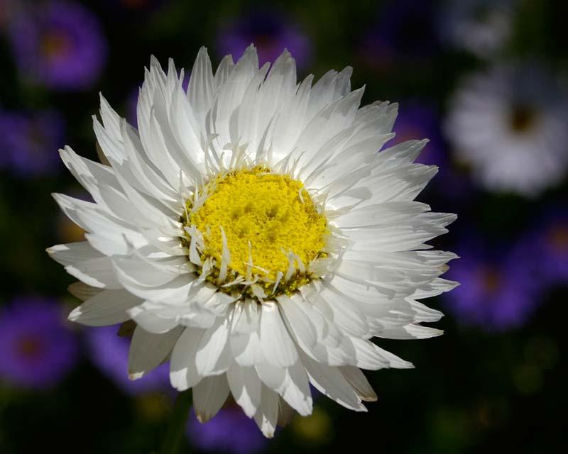 Rhodanthe chlorocephala  subsp Rosea - white strawflowers