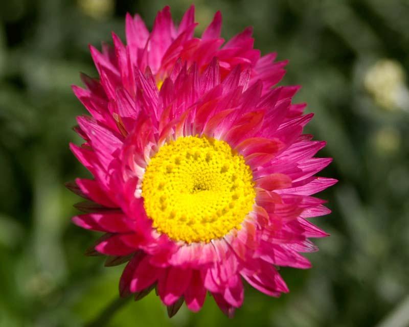 Rhodanthe chlorocephala  subsp Rosea  deep pink strawflower