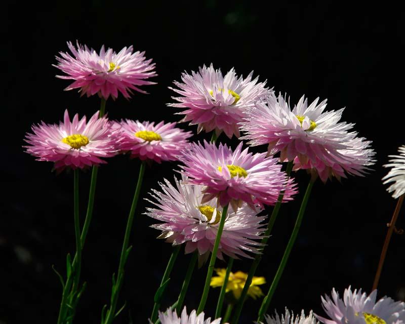 Rhodanthe chlorocephala subsp Rosea - Strawflower - solitary daisy like flowerheads on tall stems