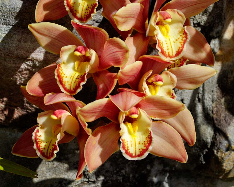 Cymbidium hybrid pink-brown flowers