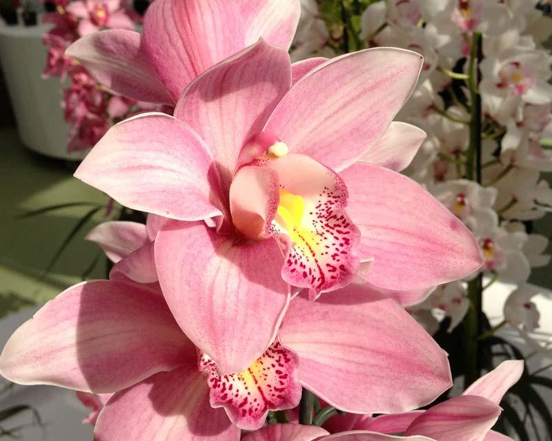 Cymbidium Bearly Pink