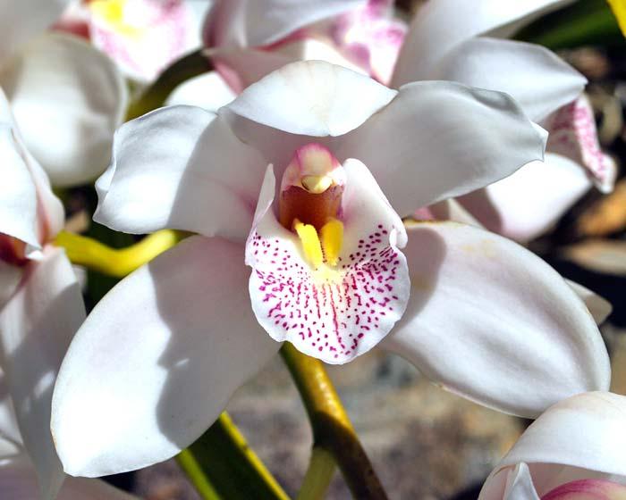 Cymbidium orchid hybrid