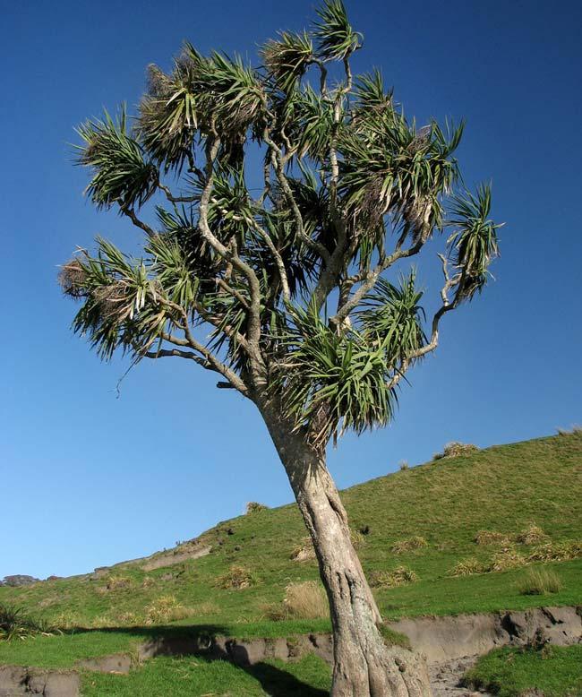Cordyline australis - New Zealand Cabbage Tree - photo Kahuroa