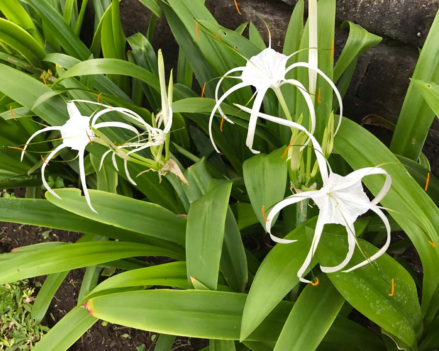 ismene flower