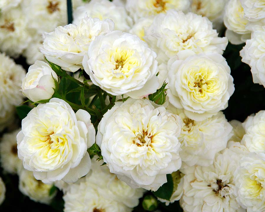 Rosa Miniature Snowcap by Harkness Roses