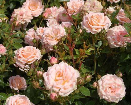 Rosa Miniature, Peach Clementine - photo Huhu