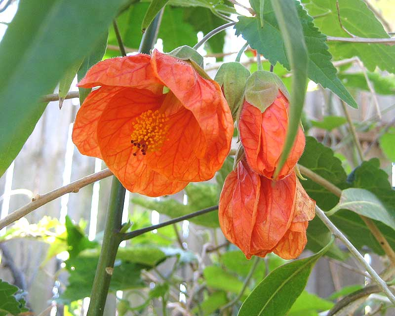 Abutilon x hybridum, more open than most