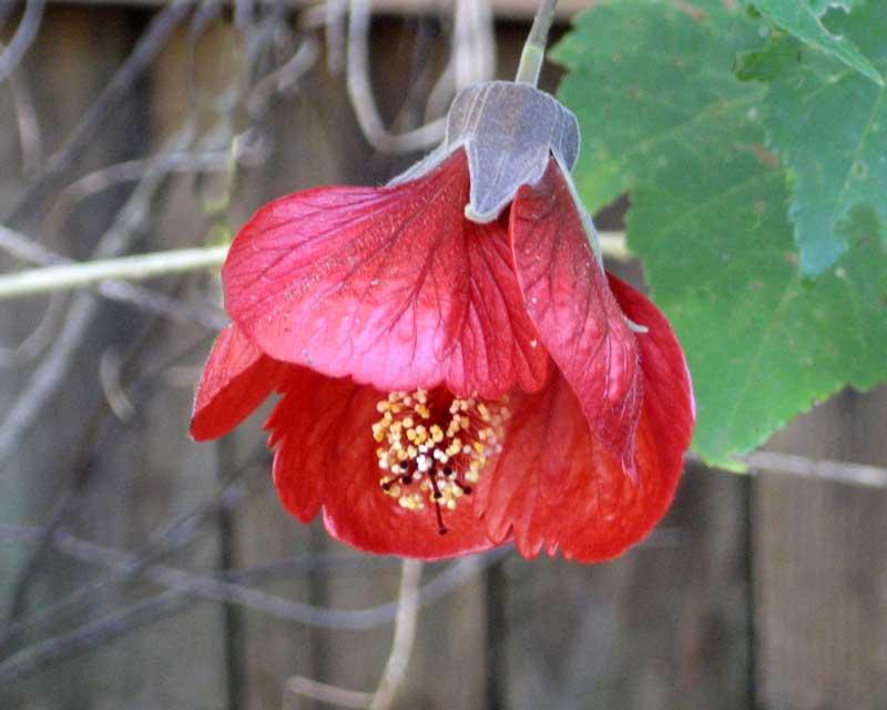 Abutilon x hybridum also comes in deeper reds