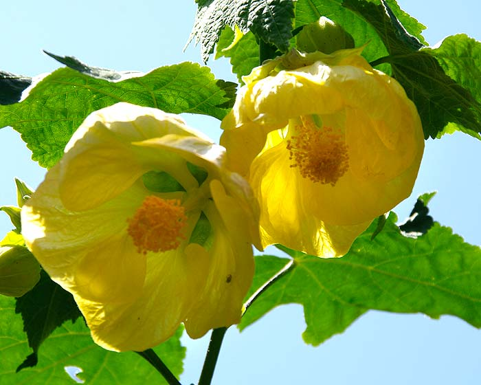 Abutilon x hybridum in yellow