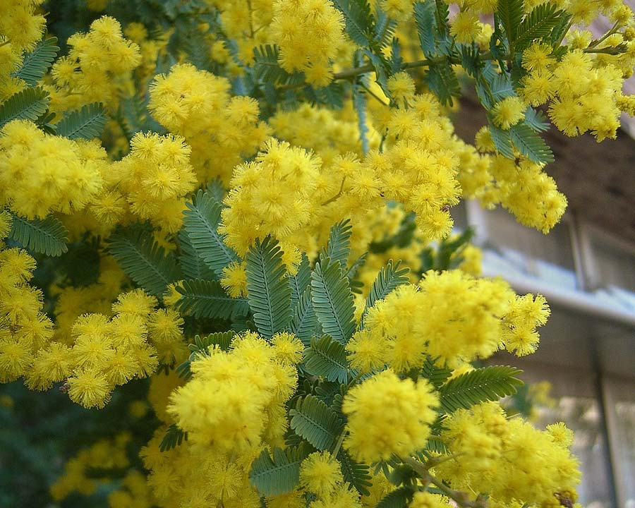 Famous July blossom of the acacia baileyana or Cootamundra Wattle. - photo Daiju Azuma