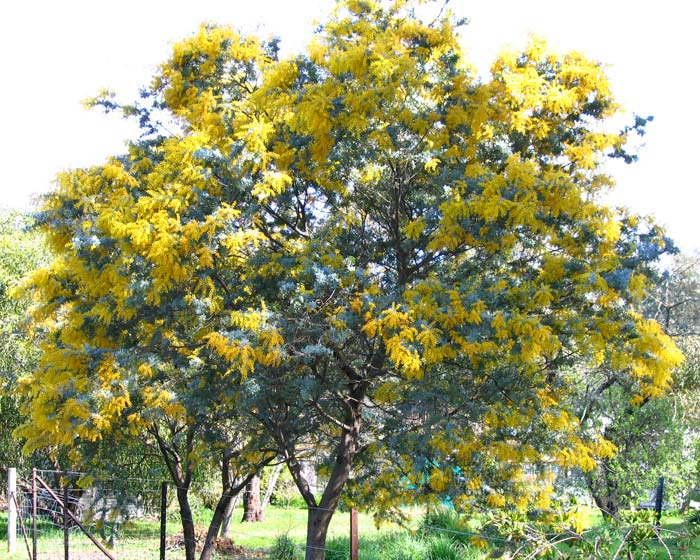 Cootamundra Wattle in full bloom, acaia baileyana