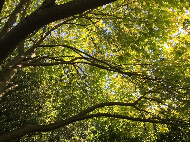Ulmus glabra Lutescens - dappled sunlight under the canopy