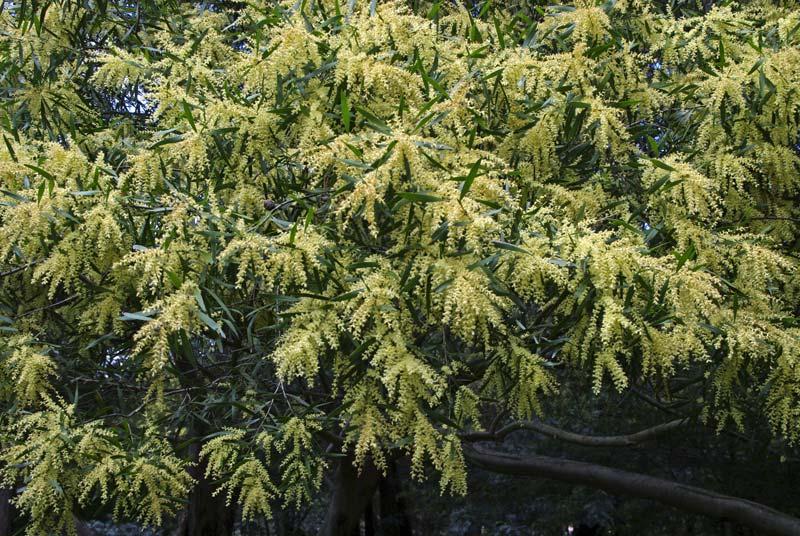Acacia floribunda - pale yellow stamens in flower.
