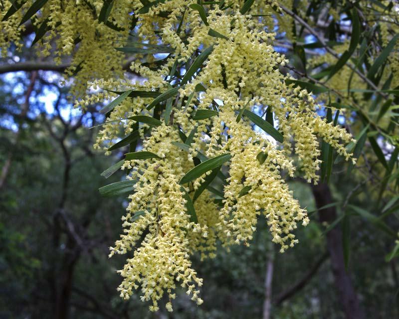 Acacia floribunda, close up of blossom