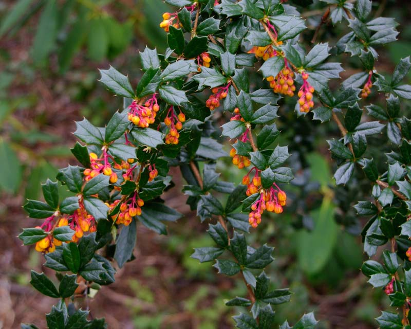 Gardensonline Berberis Darwinii
