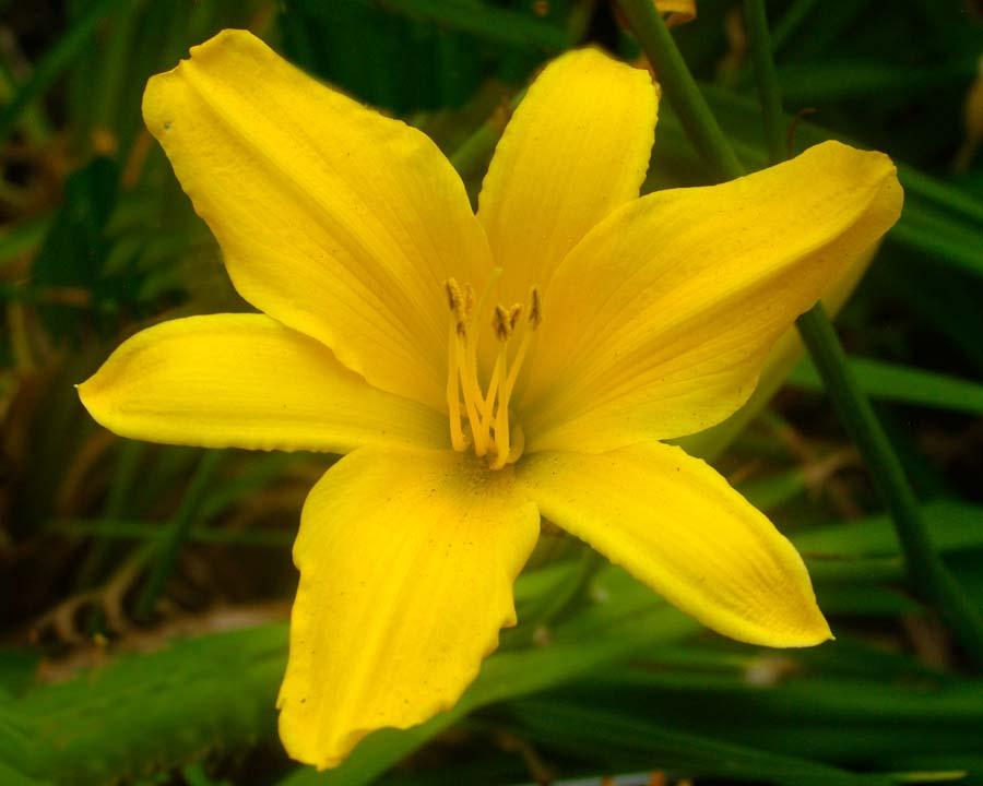 Hemerocallis 'Banbury Canary' - pure yellow flowers