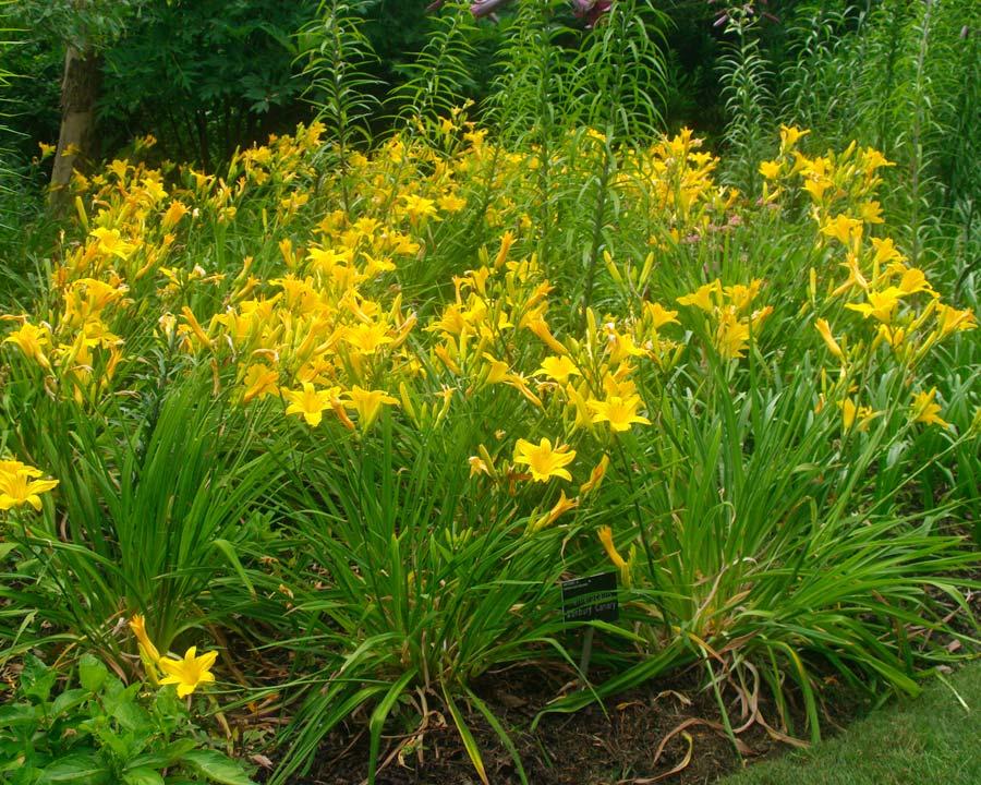 Hemerocallis 'Banbury Canary' - summer borders at Wisley UK