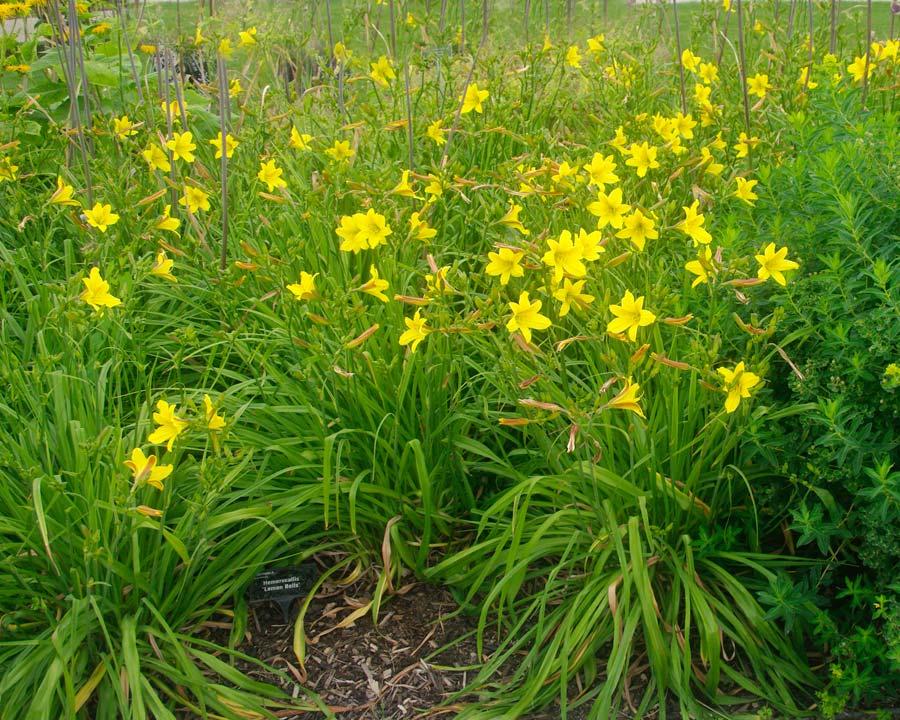 Hemerocallis 'Lemon Bells' - Wisley UK