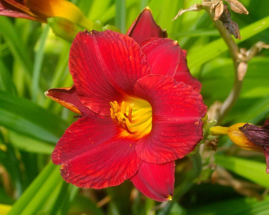 Hemerocallis 'Little Zinger' - Deep red funnel shaped flower with yellow throat