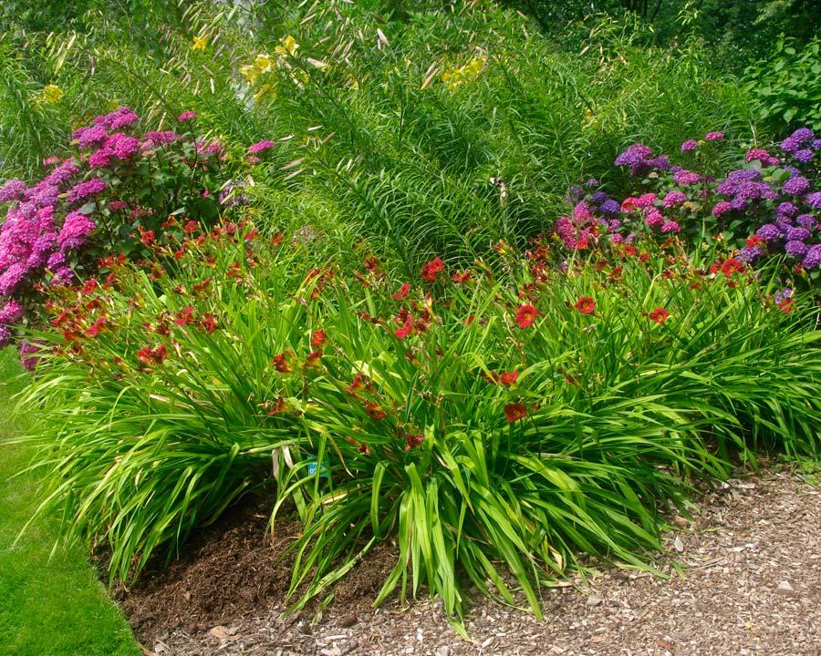Hemerocallis 'Little Zinger' - growing in mixed border
