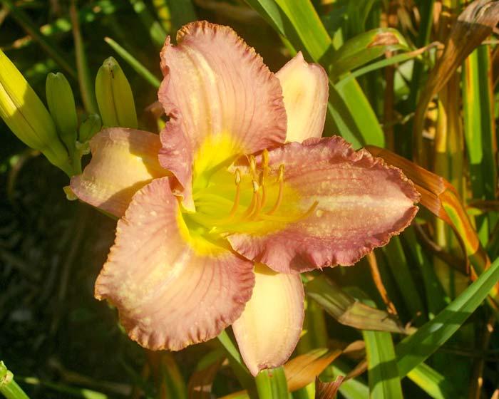 Hemerocallis hybrid
