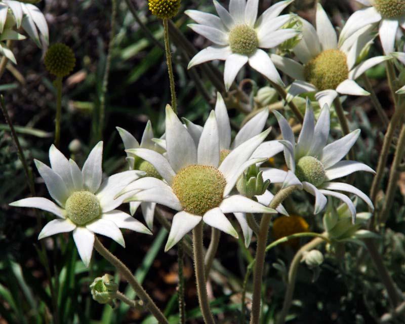 Actinotis helianthii, Flannel Flower