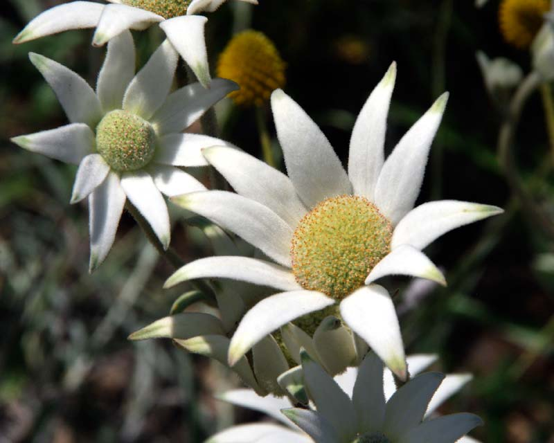 The Flannel flower, Actinotis helianthi