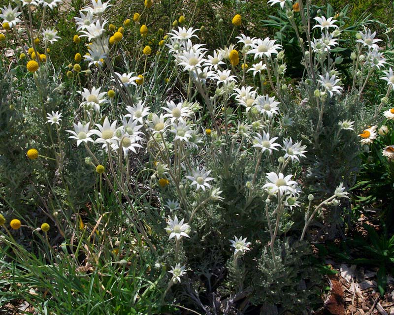 Actinotis helianthii, Flannel Flower